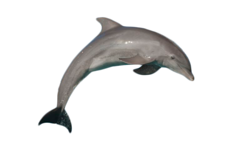 Atlantic Bottlenose Dolphin Jumping PNG