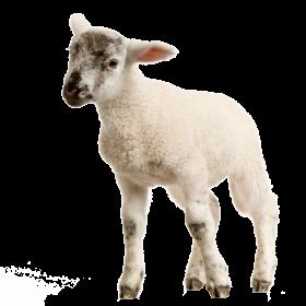 Baby Lamb PNG