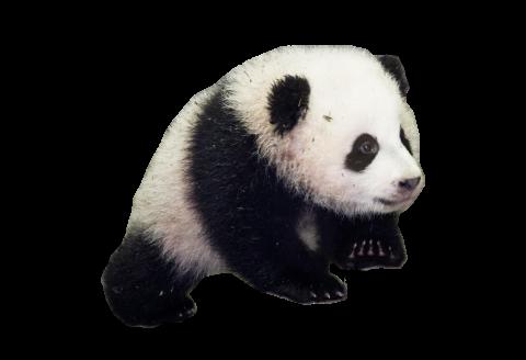 Baby Panda PNG