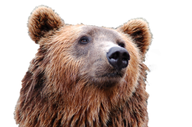 Bear Head PNG