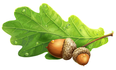 Beautiful Acorn Drawing PNG