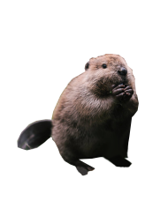 Beaver Standing PNG