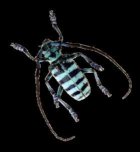 Beetle PNG