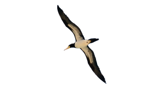Bird Flying PNG