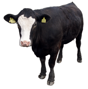 Black Cow Standing PNG