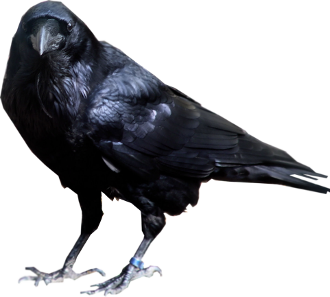 Black Crow Standing PNG