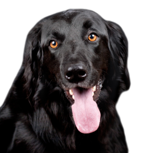 Black Dog PNG