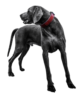 Black Labrador PNG
