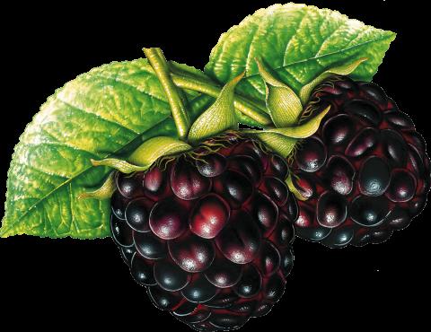 Blackberrys PNG