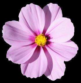 Blossom Flower PNG