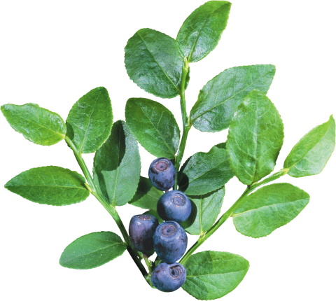 Blueberrys with Leave PNG