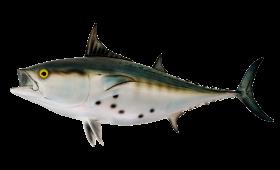 Bonito Fish PNG