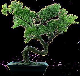 Bonsai Tree PNG