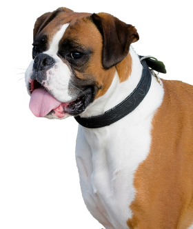 Boxer Dog PNG