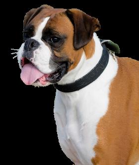 Boxer Dog PNG