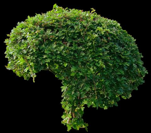 Brokoli Bush PNG