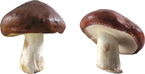 Brown and White Mushrooms PNG