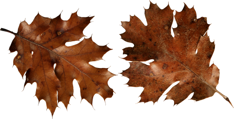 Brown Autumn Leaves PNG