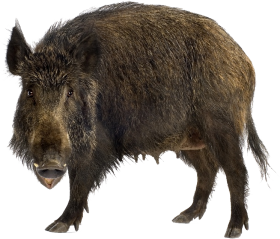 Brown Boar Standing PNG