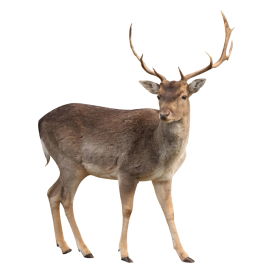 Brown Deer  Standing PNG