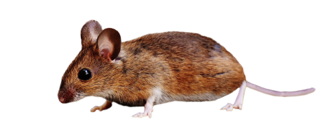 Brown Mouse Standing PNG