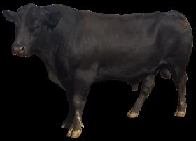 Bull PNG