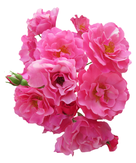 Bunch Pink Rose Flower PNG