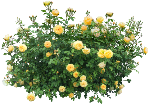 Bush with roses PNG