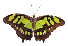 Butterfly Green PNG
