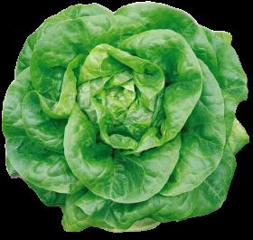 Butterhead Lettuce PNG
