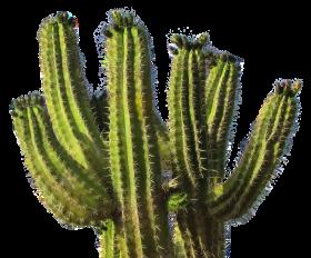Cactus Desert Plant PNG