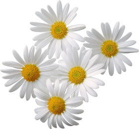 Camomile PNG