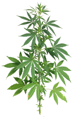 Cannabis Plant full PNG
