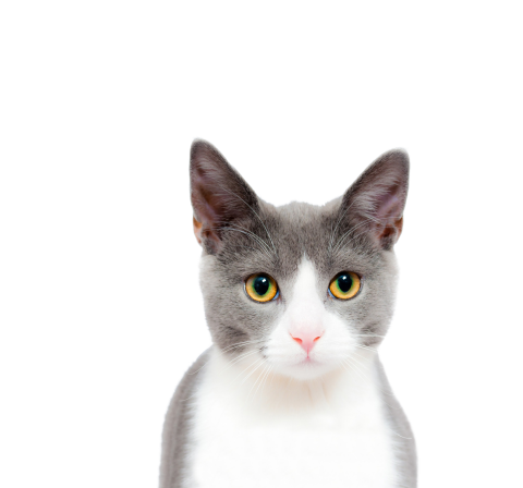 Cat Cute PNG