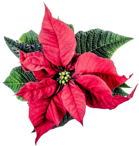 Christmas Poinsettia Flower PNG