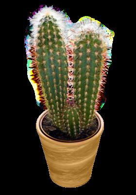 Classic Duo Cactus PNG