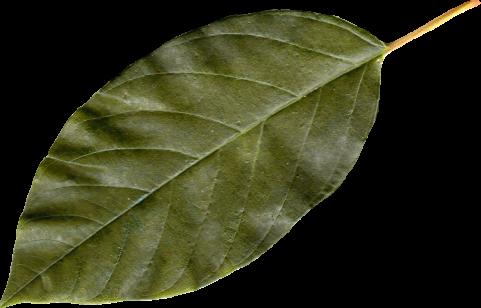 Classic green leaf PNG