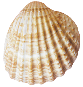 Conch PNG