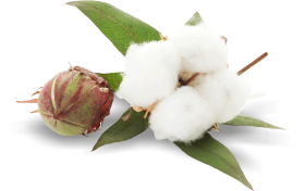 Cotton Plant PNG