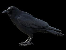 Crow Black PNG