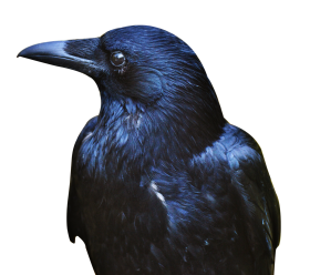 Crow Black PNG