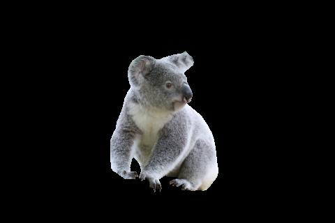 Cute Koala PNG