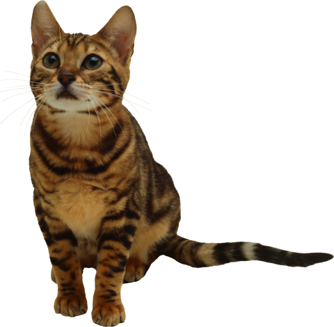 Cute Looking Cat PNG