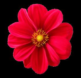 Dahlia Flower PNG