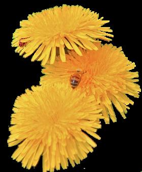 Dandelion PNG