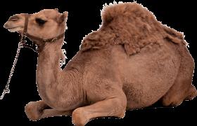 Desert Camel Sitting PNG