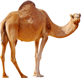 Desert Camel Standing PNG