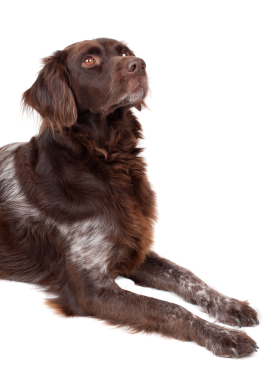 Dog Looking up PNG