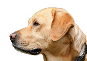 Dog Looking PNG