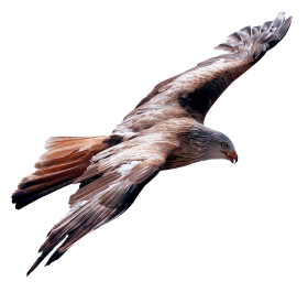 Eagle Fly PNG